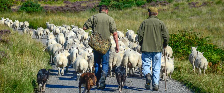 Sheepherding in Scotland