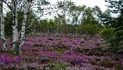 Scottish Highlands Heather